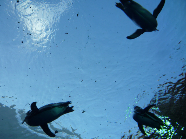 固いガラスの上に泳いでいるペンギンの画像 クリック・Enterで拡大