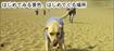 砂丘を歩く盲導犬の様子